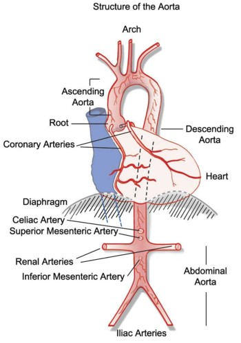 Diagram Of The Aorta