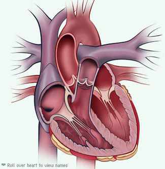 Interactive Heart Anatomy Tool At www.MyHeartValve Choice.com