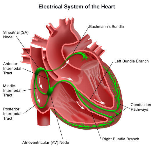 cardiac conduction system diagram of cardiac conduction system