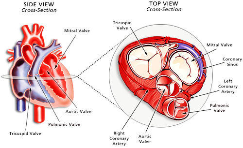 diagram of the fuel pump sensor diagram of the mitral valve can a heart valve disorder heal itself