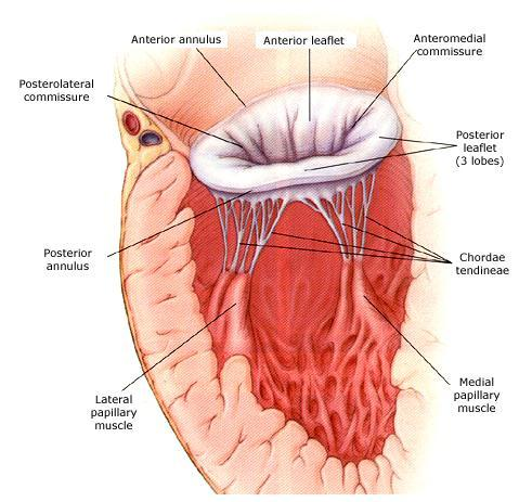 Mitral Valve Annulus Anatomy, Structure & Pictures