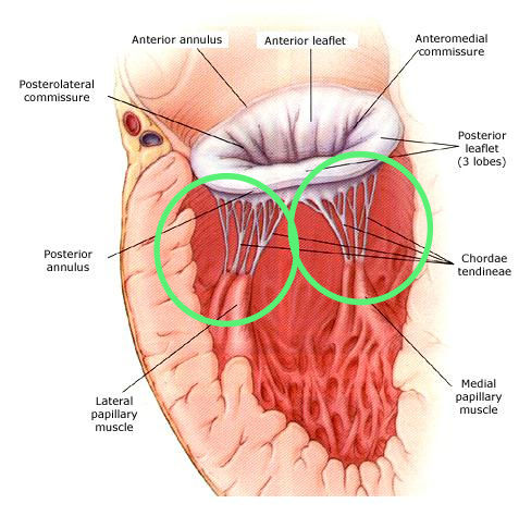 Papillary Muscles