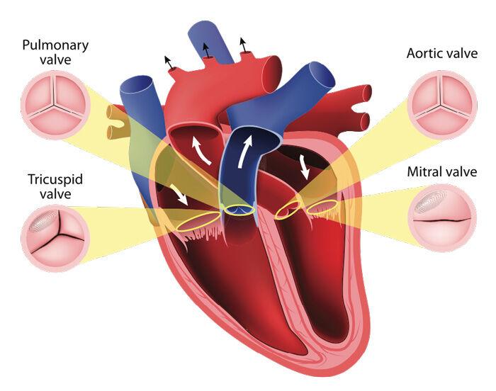 Four (4) Heart Valves